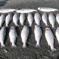 Nice Silver Salmon