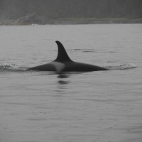 Orca swimming the inlet