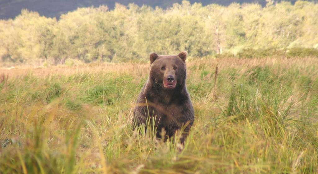 Alaska Wildlife:  Bear