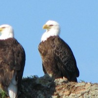 Bald eagles at rest.