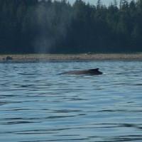 Lisianski Inlet Whale