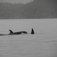 Orca on the Move