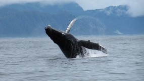 Whale Breaching in Lisianski Inlet