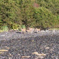 Sitka Black Tail Deer - A Walk On The Beach
