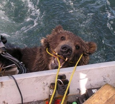 Rescue of Kodiak Brown Bear