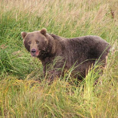Bear viewing in Pelican Alaska